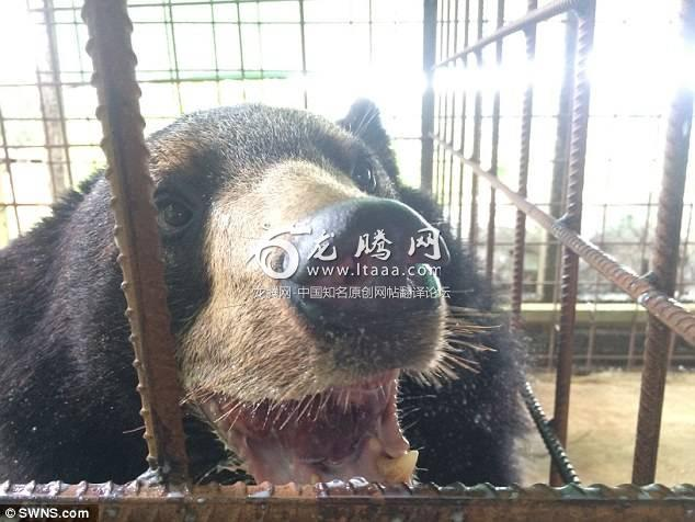 Nyan Htoo after surgery to remove the tounge. The bear had to have his tongue removed during emergency surgery because it grew so big it was dragging on the floor