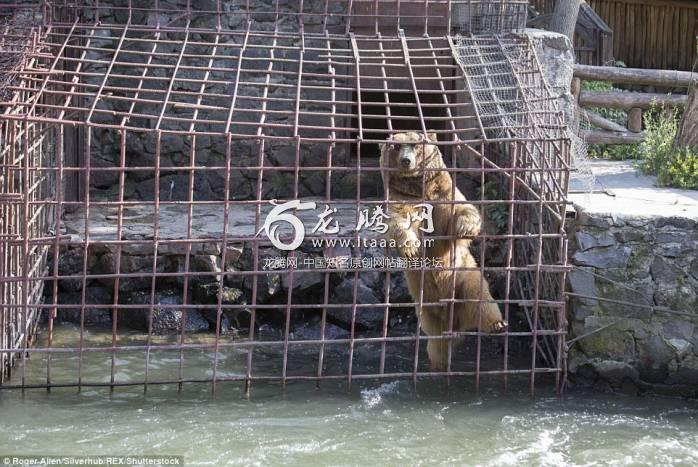 Pleading: A brown bear climbs on its enclosure across the river from a restaurant staring longingly at the diners