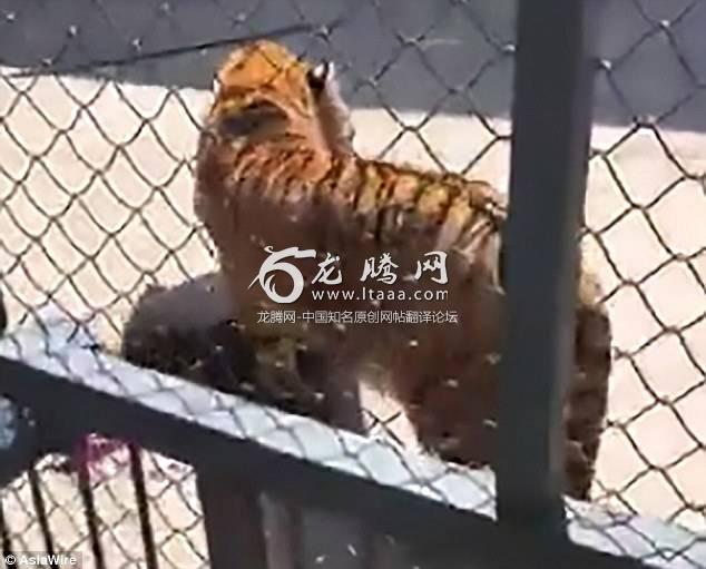 Horrific footage taken by witnesses shows the tiger standing over the lifeless trainer's body inside the cage