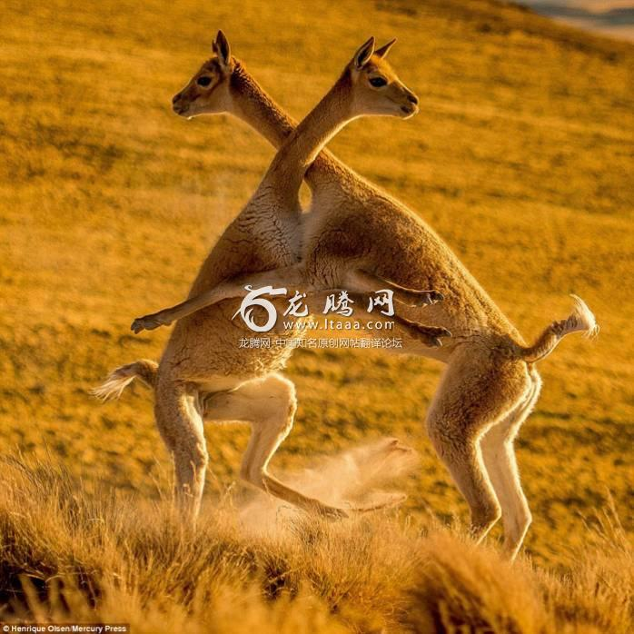 Photos taken by Henrique Olsen de Assumpção 24 show the wild vicunas appearing to embrace while battling each other in the brutal turf war