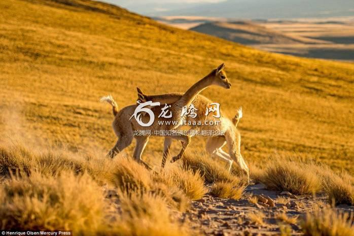 The Vicunas could be seen biting one another and grappling as they faced off on the remote plains of the Atacama Desert national park