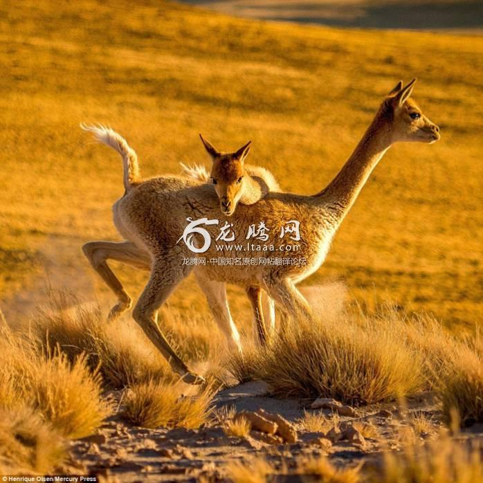 Close-up shots show the llamas headbutting one another as they stood on their hind legs and attempted to inflict damage on the other