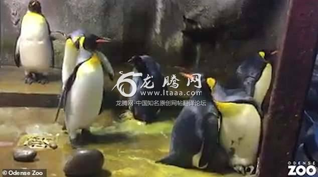 The mother penguin is heard crying as she tries to reach her baby which is eventually handed back by the zoo staff